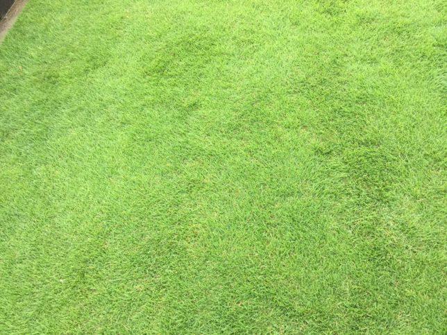 冬でも芝生の緑を保つ、オーバーシードより簡単な方法