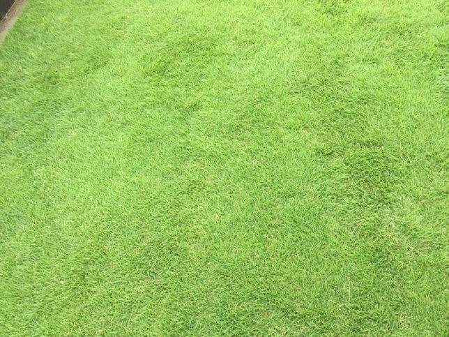 芝生の肥料は良い物を使い、梅雨の雨を利用する