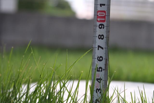 8月の芝生は1日6㍉伸びる!!芝刈りは最低週1回で