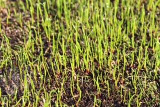 真夏の芝生の手入れ 姫高麗芝でフェアウエイを作る