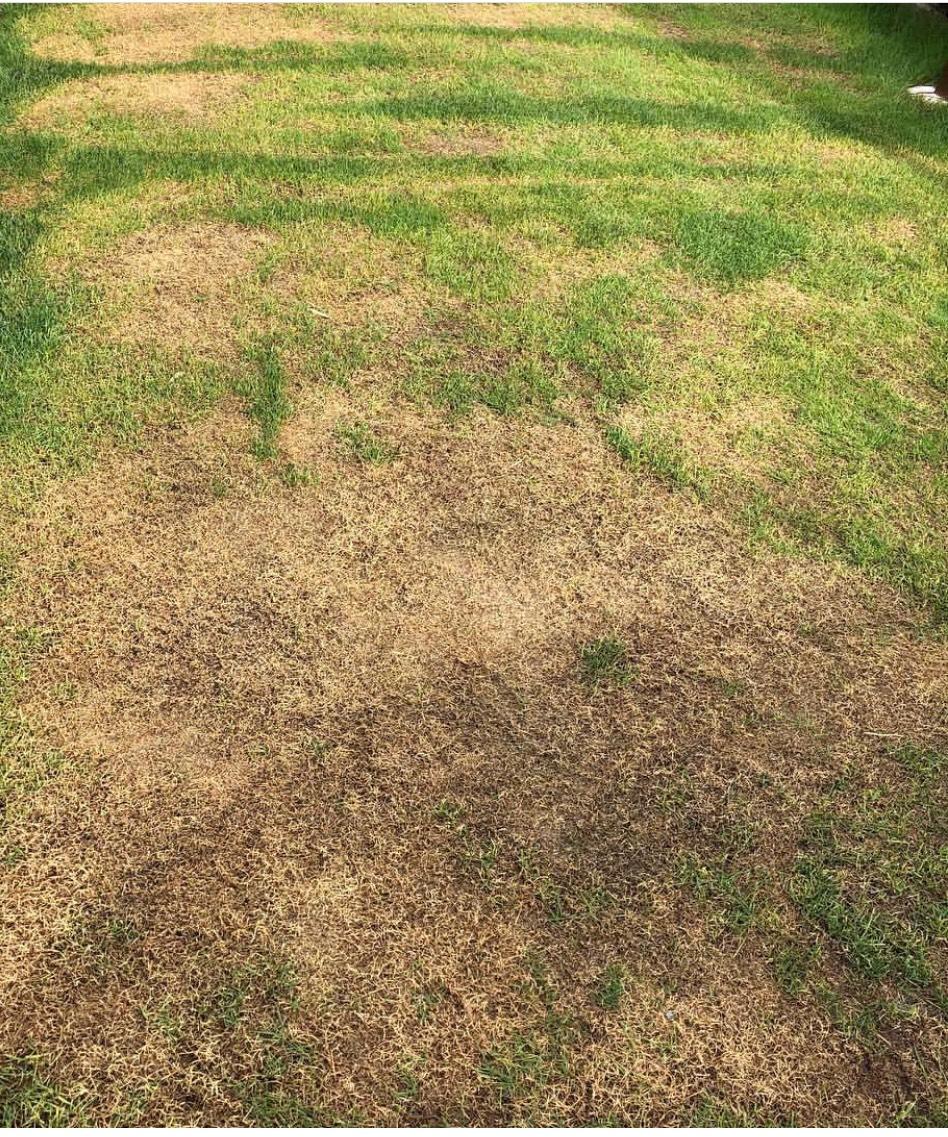 芝生が枯れ死んじゃいました。復活は無さそうです。
